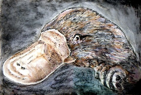 drypoint print & watercolour - Platypus