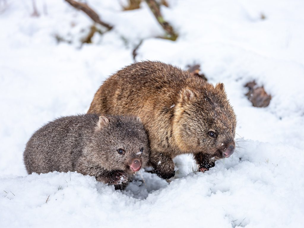 Wombats in the snow