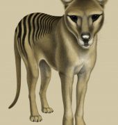 Thylacine by Tim Squires