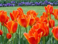 Image of Tulips at the Botanical Gardens