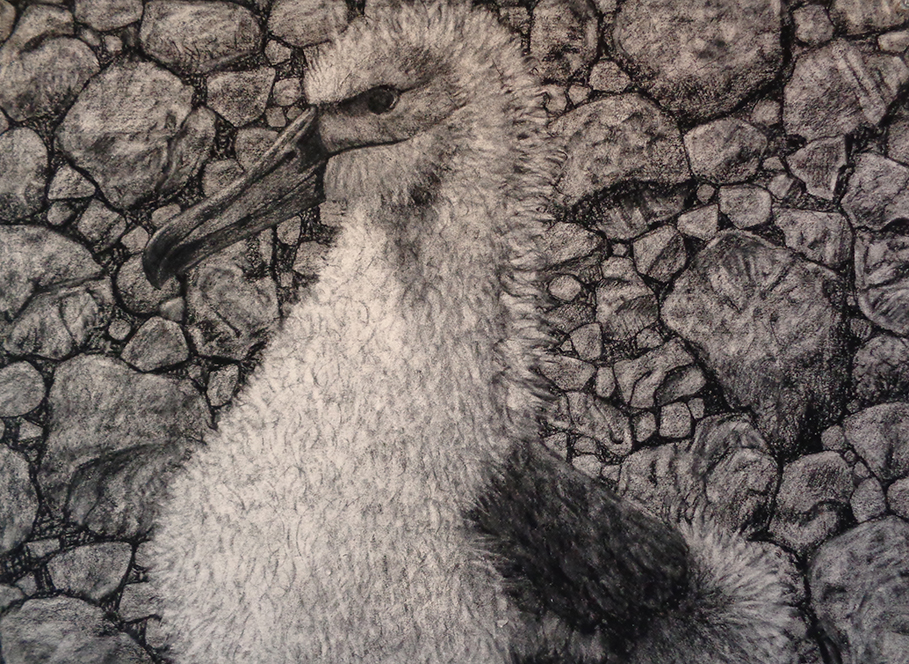 Shy Albatross Fledgling, charcoal on paper