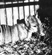 Captive Thylacine belonging to animal dealer James Harrison of Wynyard Tasmania around 1912-1920