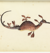 Image of Weedy Sea Dragon