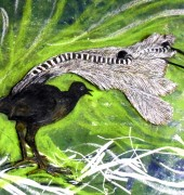 Superb Lyrebird (green) - etching , pastels
