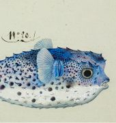 Charles-Alexandre Lesueur (1778 - 1846), Porcupine fish (Diodon), watercolour and ink on paper. Collection: Museum d'histoire naturelle, Le Havre.