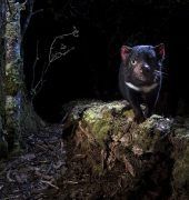The Life of a Tasmanian Devil, Heath Holden. Photographer: Heath Holden