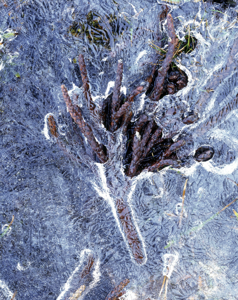 'Pencil Pine (Athrotaxis cupressoides) branchlet in ice, Walls of Jerusalem National Park, Tasmania', Mark Darragh, 2019