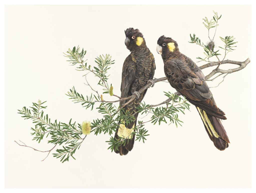 Belinda Kurczok. Yellow tailed Black Cockatoos (2020). Acrylic gouache. 780 x 1060mm